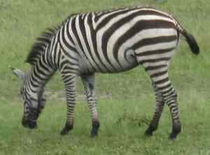 Zebra graze